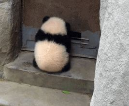 Panda. Funny panda video
