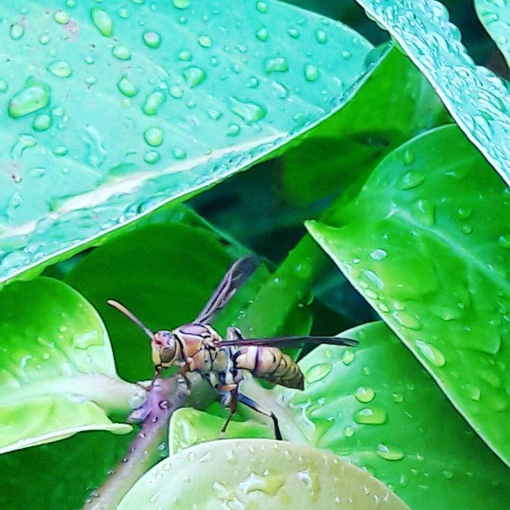 Eukaryota Animalia Arthropoda Hexapoda Hymenoptera Polistes Jadwigae Found in Bangkok, Thailand