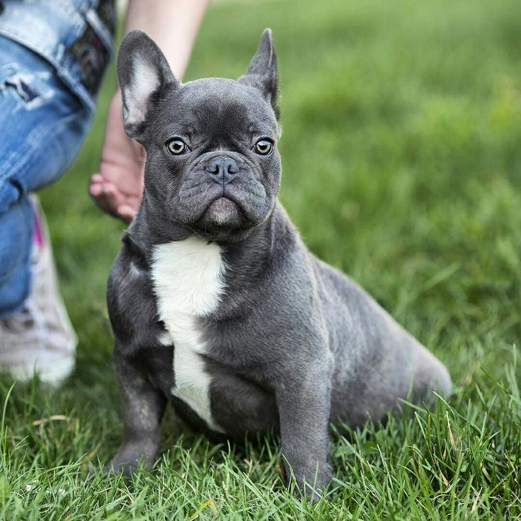 For sale: RAGNAR  True to type blue boy with excellent pedigree  ℹ vanillabulldogs@gmail.com ℹ www.frenchbulldogbreed.net