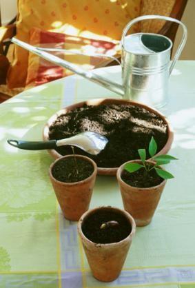 Plantation de noyaux de litchis