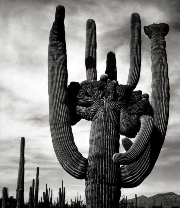 Ansel Adams. The crested saguaro (cactus) is a mutation caused by a freeze.