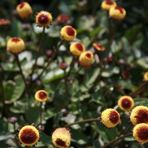 Spilanthes - great for canker sores, tooth aches etc.