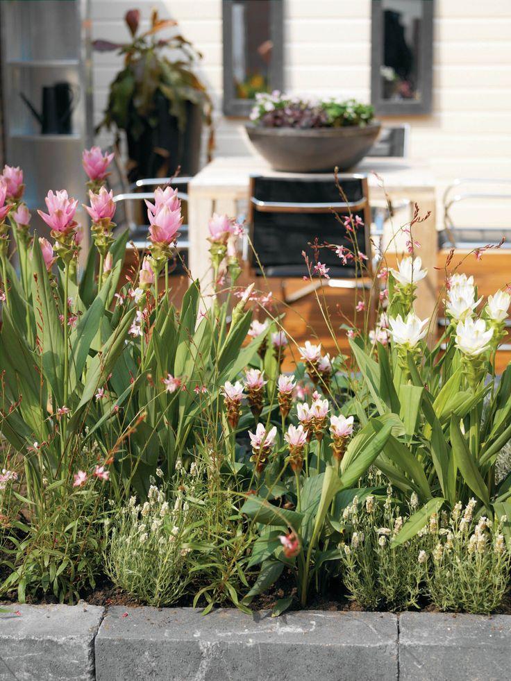 La curcuma è una pianta non solo bella, con i suoi fiori rosa, ma anche utile per l'uomo: è una spezia molto usata nella cucina indiana, e le sue foglie vengono utilizzate per la produzione di un colorante vegetale