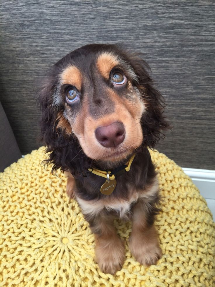 Brown And Tan English Cocker Spaniel Honey What You Doing With