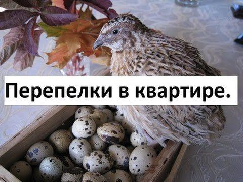 Перепелки в квартире. Золотые яйца.
