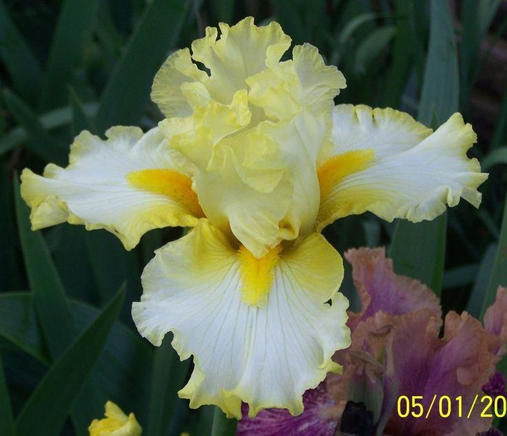 TB Iris germanica 'Nine Eleven Remembered' (Roberts, 2004) .................. Rebloomer