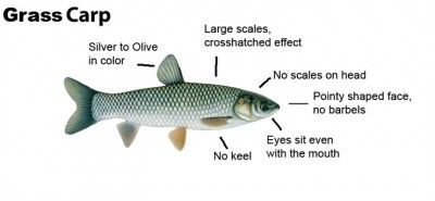 Grass Carp are illegal to use as aquatic plant control in Michigan ...