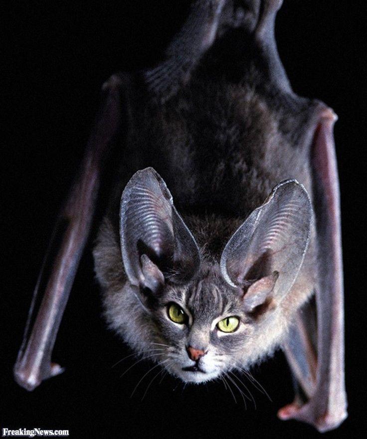 Летучие кошки картинки