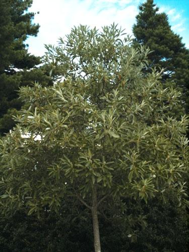 Sweetbay Magnolia Henry Hicks Plants Magnolia Garden