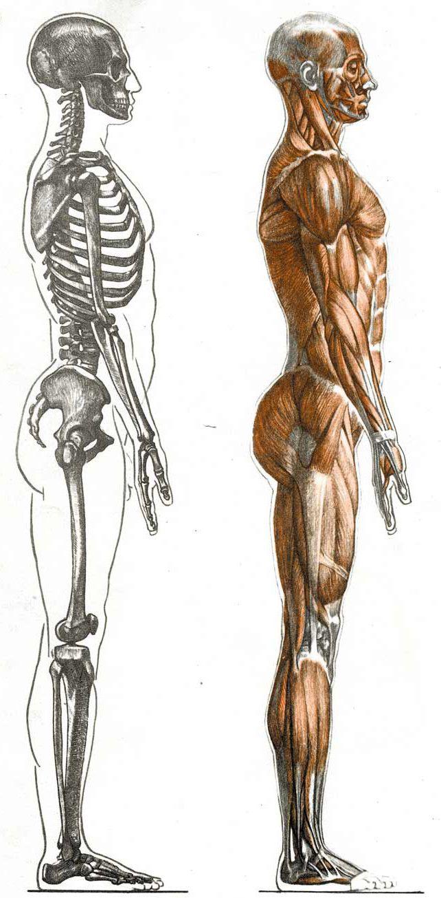 Best 224 Анатомия ideas on Pinterest | Anatomieverweis, Zeichnen und ...