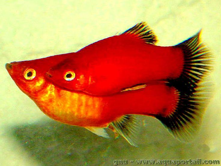 Xiphophorus maculatus (Platy) - AquaPortail