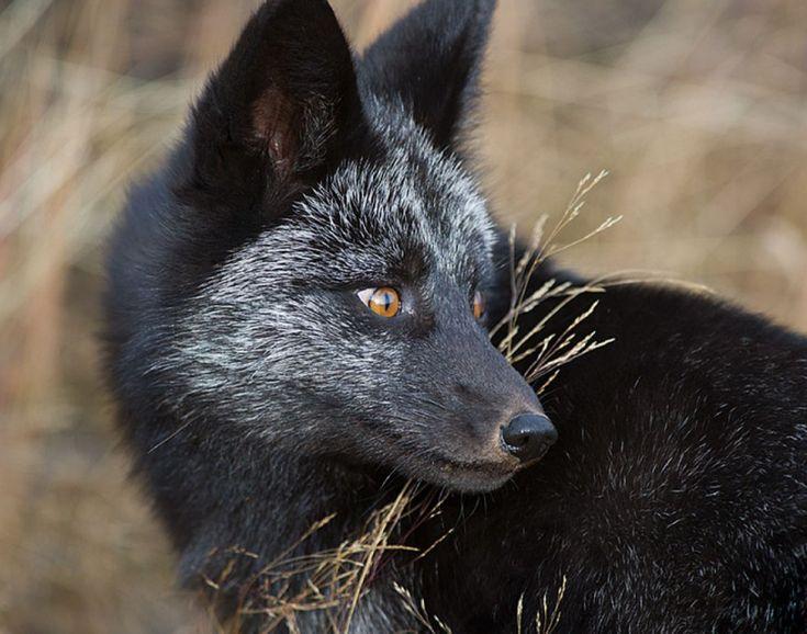 20 photos rares et sublimes à la gloire du renard argenté   Buzzly