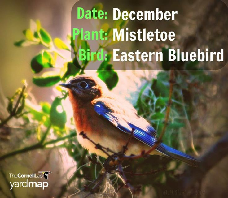 """December is mistletoe season! Mistletoe was once considered a pest that kills trees, but was recently recognized as an ecological keystone species (an organism that has a disproportionately pervasive influence over its community).  A broad array of animals depend on mistletoe for food, transfer pollen between plants, and disperse the sticky seeds. They remain """"evergreen"""" and provide a source of cover and food for birds like this over-wintering Eastern bluebird."""