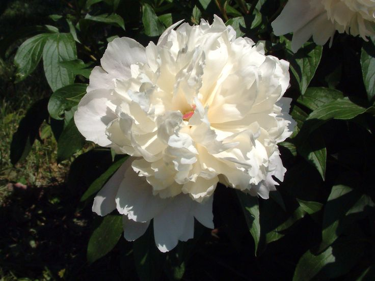 Cakegirl on the Run: Gum Paste Peony Resources (the pic is a real peony but there a bunch of links to tutorials)