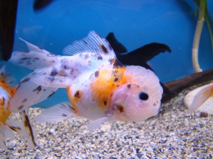 100 best images about oranda goldfish on pinterest cap d for Calico koi fish