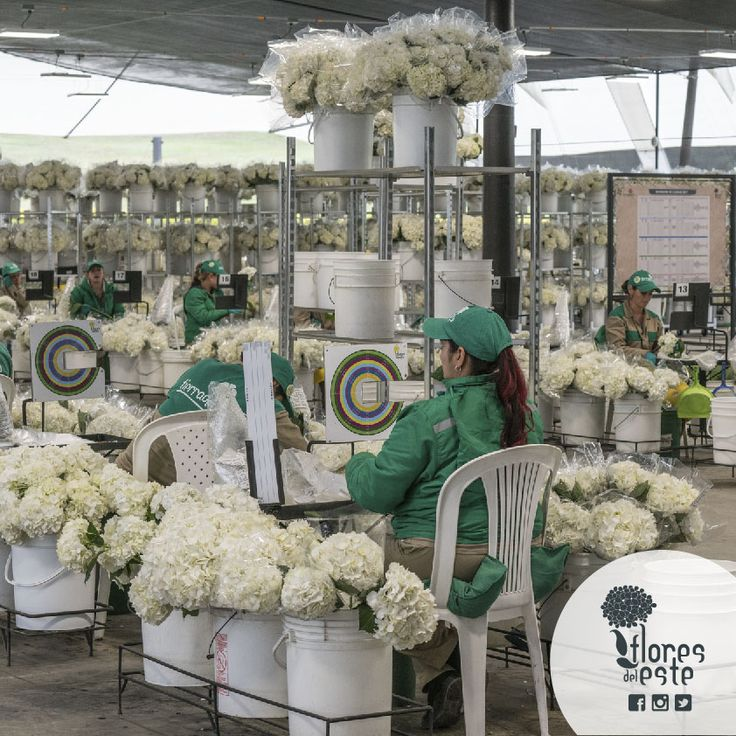We are very happy to announce that finally all the operation moved to our new post harvest. This place is the result of the hard work of  almost 18 years, dedicated to producing the finest hydrangeas in Colombia. This new post-harvest has an area of 2.200 square meters and can process up to 40,000 stems in a single turn. #floresdeleste