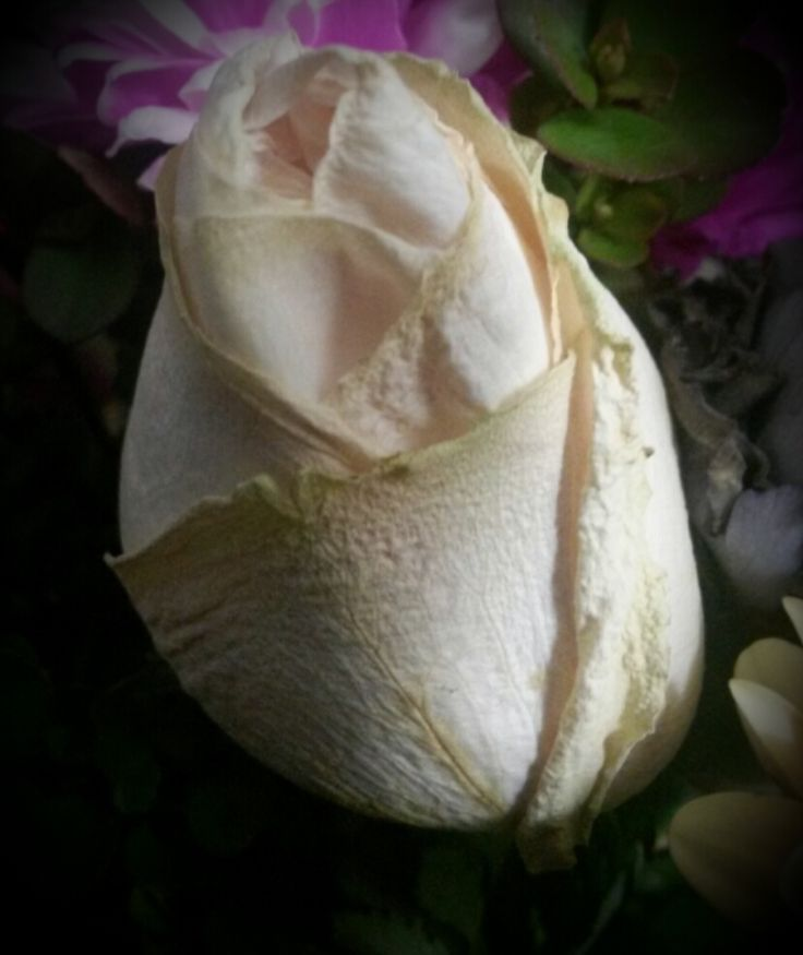 "Here's another contribution for Adrianos ""Roses Open Weekend"" It's a white rose seated in a bouquet I had bought from the flower shop. Still fresh in all her glory standing tall beside the other blooms that surround her. A white rose represents purity,  innocence and spirituality. -JL"