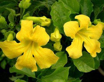 Enredadera de trompeta amarilla, 25 semillas, escalador vistosa de gato, Macfadyena, cerca o enrejado, zonas 9 a 11, sequía tolerante, ama el calor