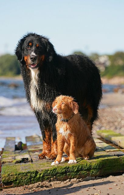 A Bernese Mountain Dog and A Nova Scotia Duck Tolling Retriever puppy.