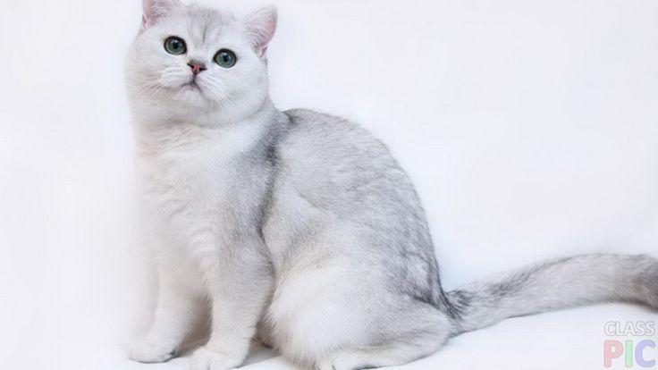 Британская кошка (27 фото) http://classpic.ru/blog/britanskaya-koshka-27-foto.html   Британская кошка — одна из самых популярных пород, история которой началась около 2-х тысяч лет назад. Представителей этой породы легко...