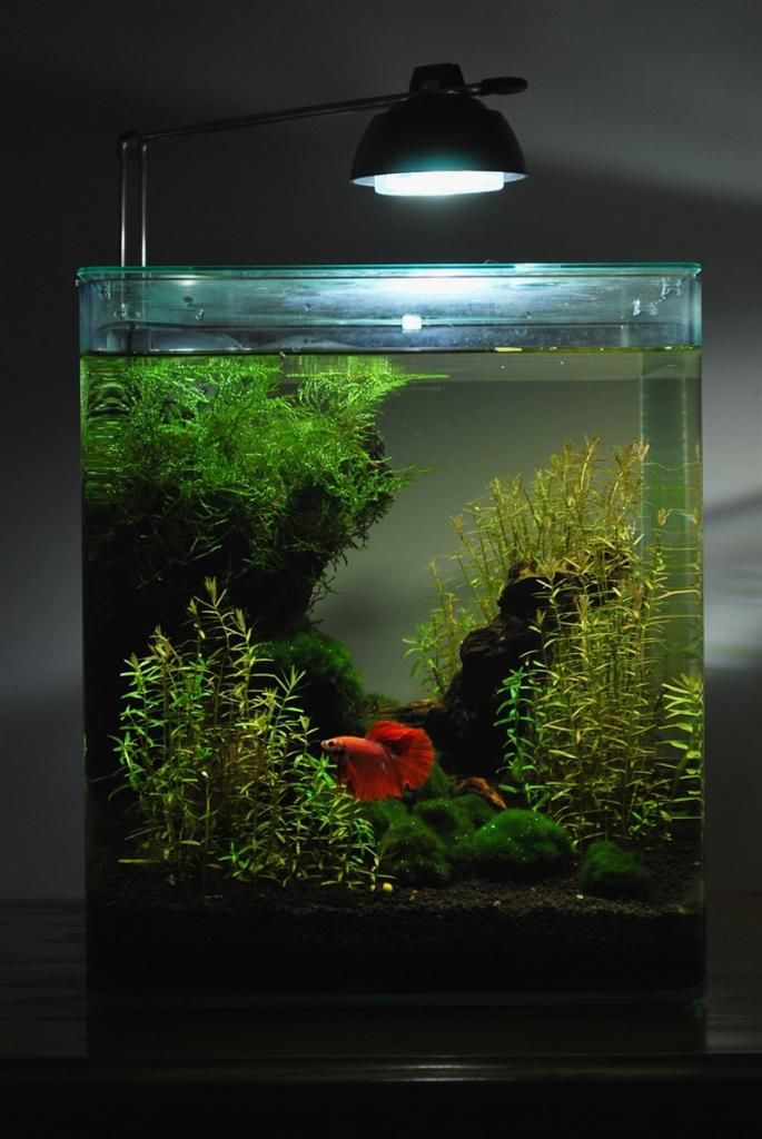 My new Betta will soon have a property upgrade like this ( as I have had for his predecessors). They do so much better in a properly maintained aquarium.