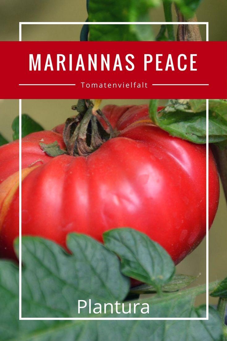 Die Früchte der Mariannas Peace sind groß, flachrund und stark gerippt und die Früchte färben sich in der Vollreife rosa oder hellrot.