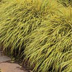 "Golden Hakone Grass- One of the best grasses for shade and will take full sun to full shade. Nice bright color to brighten up a dark corner.  Deer resistant, 12-14"" tall, zones 5-9"