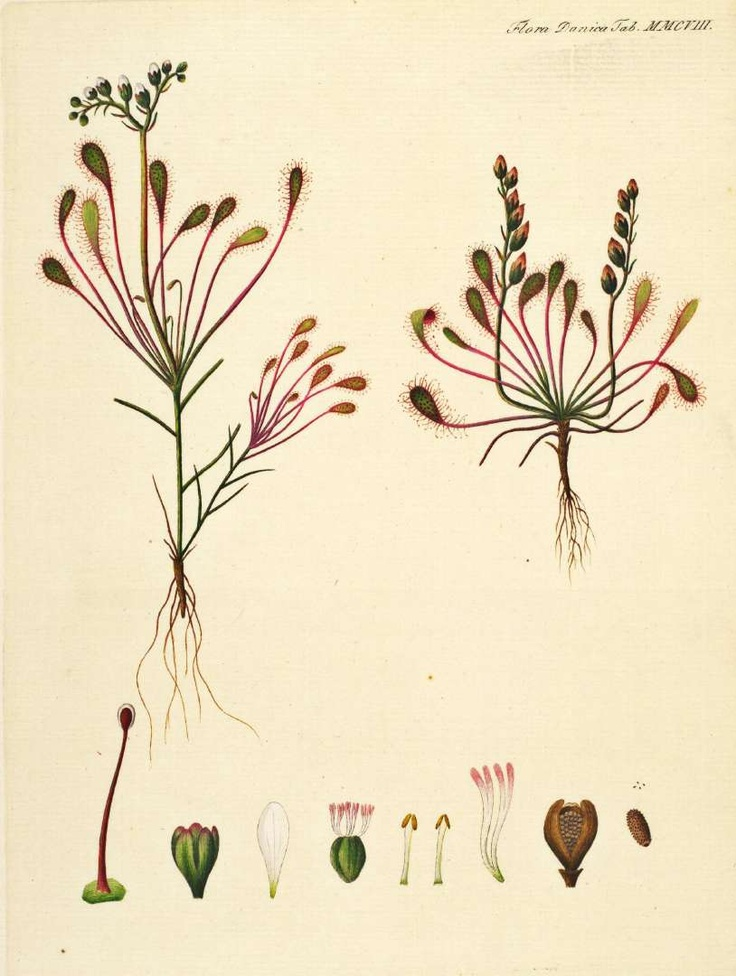 Drosera intermedia Hayne Oeder, G.C., Flora Danica, Hft 36, t. 2108 (1761-1883). family: Droseraceae. Illustration contributed by the Royal Library Copenhagen (Det Kongelige Bibliotek)