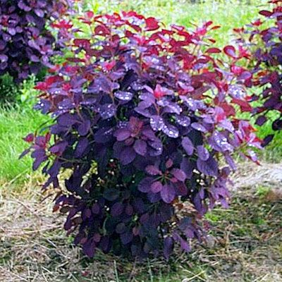 Smoke bush: Not really hardy but if you heap soil over it in late fall it survives. Had mine 7 years. red/purple in spring, deep purple in summer, red/orange in fall. Drought tolerant.