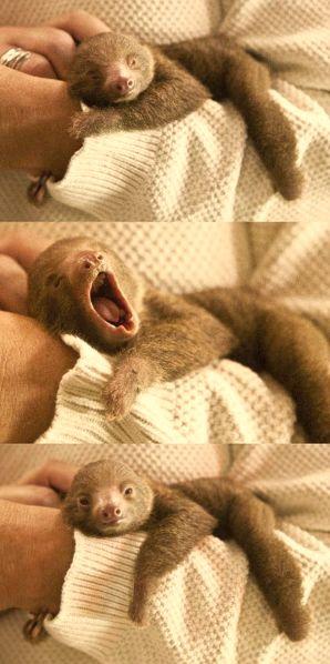 Baby sloth yawning - Imgur