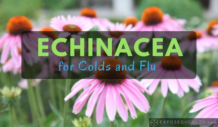 Echinacea is one of the best herbs for colds and flu's!
