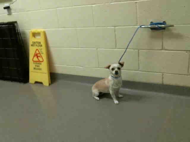 Wapoo dog for Adoption in Denver, CO. ADN-767876 on PuppyFinder.com Gender: Female. Age: Young