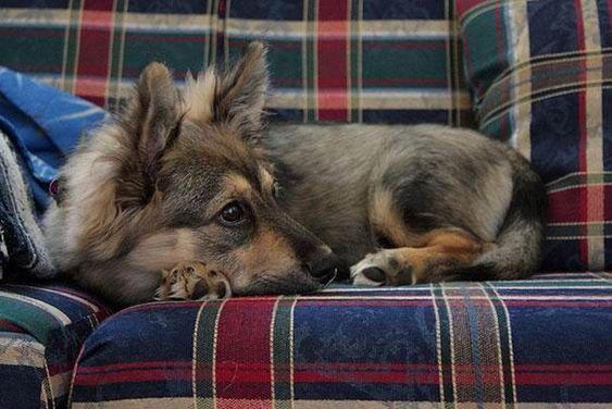 9. Croisement entre un chien de race berger allemand et un corgi
