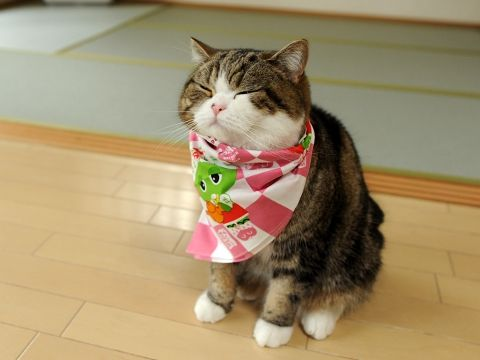 it's children's day in Japan and Maru receives a hanky! so cute :)