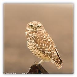 Metal Magnet Burrowing Owl