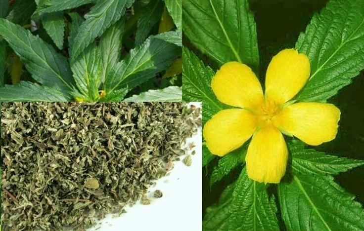 #Damiana Leaf Cut Tea Organic Dried Herb Superior Quality Harvest 2016 #Damiana