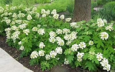 Hydrangea quercifolia 'Pee Wee' is a dwarf form of the native Oakleaf Hydrangea.