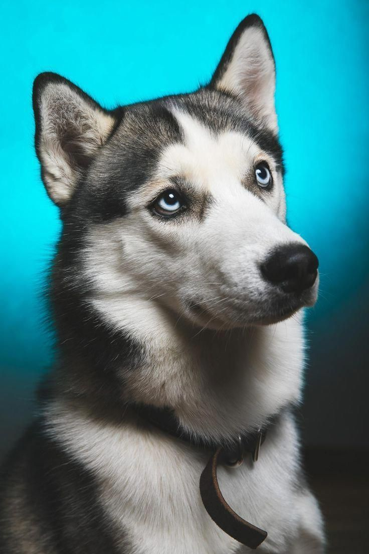 Fantastic Siberian Husky Information Is Available On Our Website