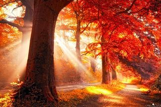 Sunset behind a tree, lighting up a forest path and leaves in the Netherlands. The colors have been touched up, but the rays of light are real...