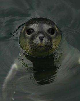CASA DE LOS PECES Conoce una colonia de focas comunes del Atlántico Oriental. Descubre cómo se comportan en su hábitat natural.Puedes verlas comer, sumergirse, jugar, cuidar de los cachorros que nacen cada año (como el de la foto), o divertirse mirando a sus visitantes.