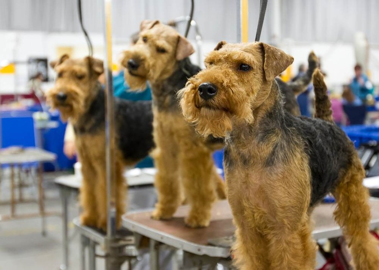 The National Dog Show: Behind the Scenes - The National Dog Show presented by Purina and hosted by The Kennel Club of Philadelphia- NBC Sports - three Welsh Terriers - just gorgeous!
