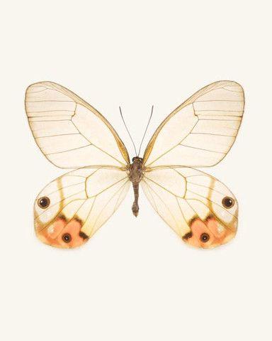 Butterfly Photo No. 2 - Haetera Piera negra - Orange Glasswing Butterfly Print