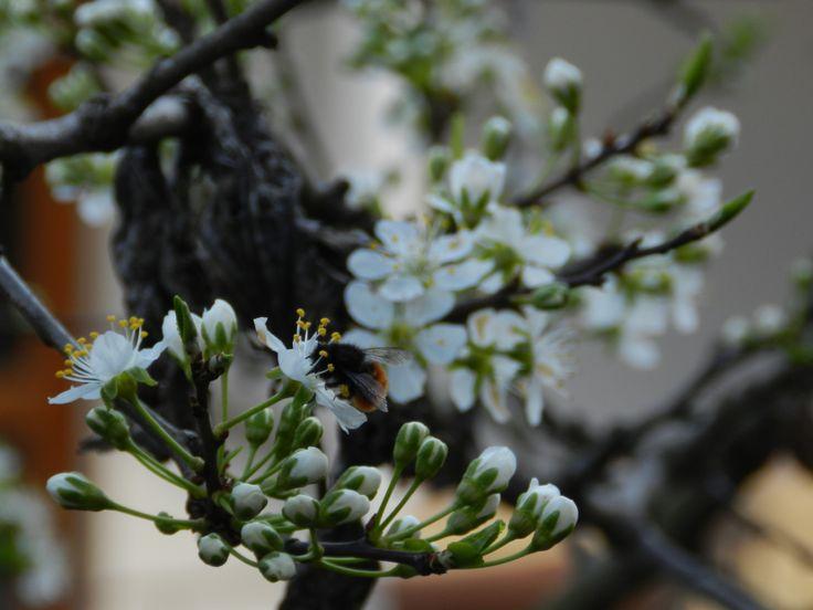 Un ape si posa sui primi fiori