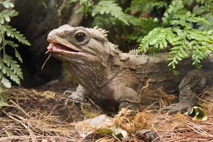 Iconic New Zealand reptile shows chewing is not just for mammals