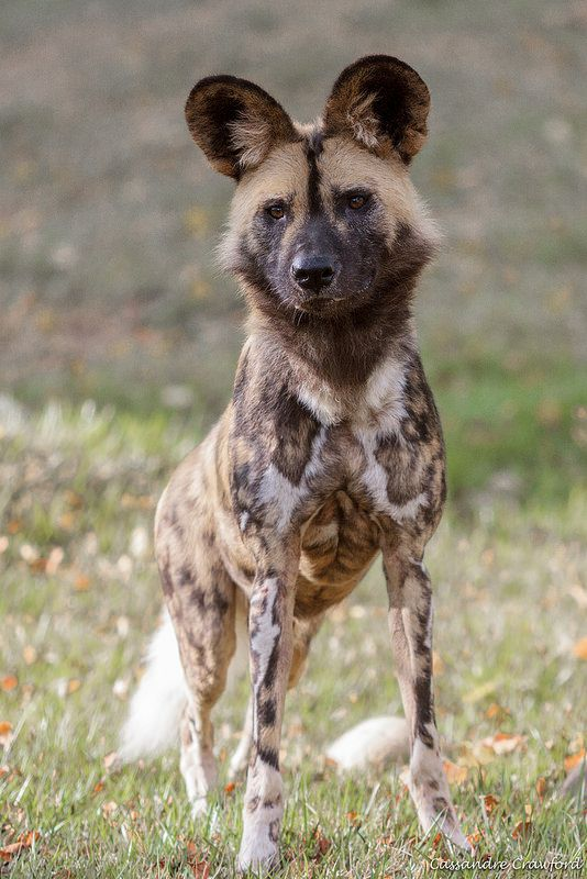 African Painted Dog (male)-Haka