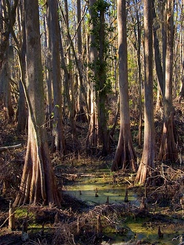 Peace River Cypresses, near Lakeland, FL