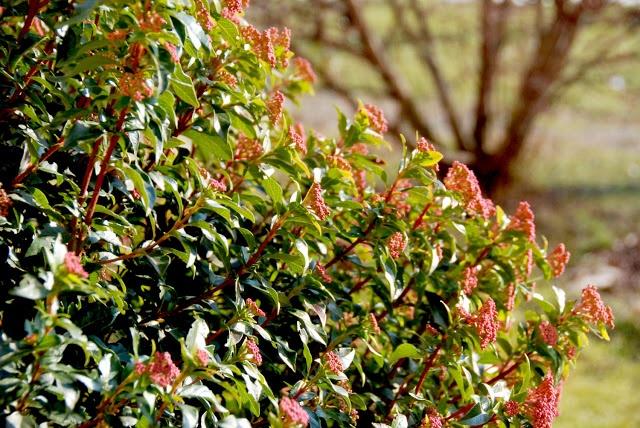 Il mondo in un giardino: Viburno thinus, un sempreverde che non può mancare!