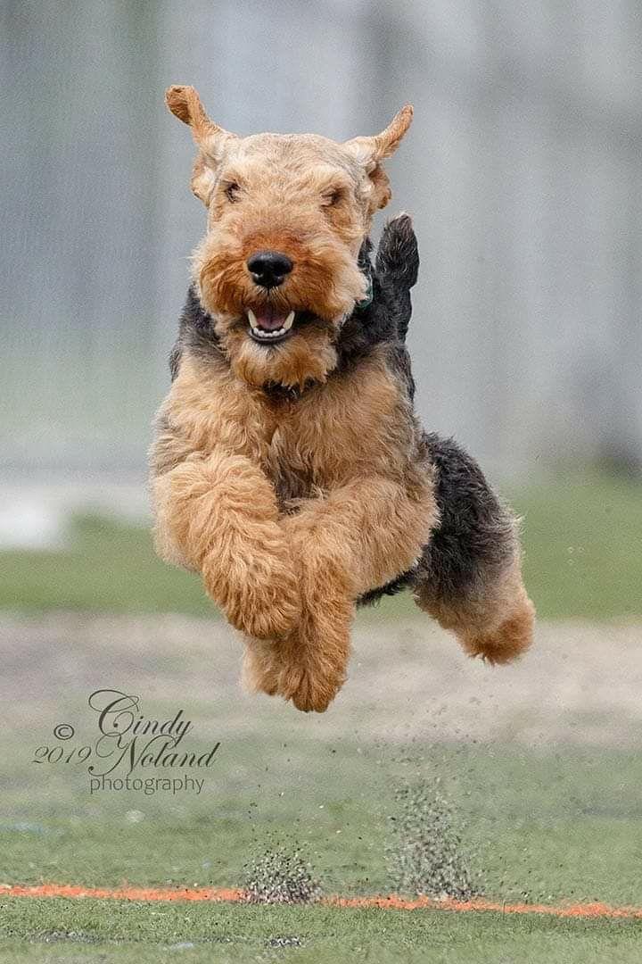 19++ Welsh terrier lakeland terrier airedale terrier inspirations