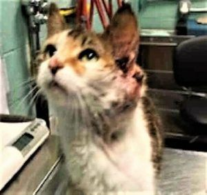 **RETURN** 15 Year old ANAIS found her way back into the shelter as a stray. She has a very large tumor near her left ear. The ACC vet is recommending euth after ID hold is up. This sweet cat was purring throughout her exam and allows all handling. If you can help her you need to act fast.