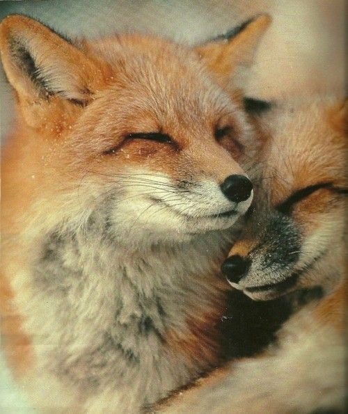 Foxes: Snuggles, Wild Animal, Sweet, Cuddling, Pet, Beautiful, Creatures, Red Foxes, Natural